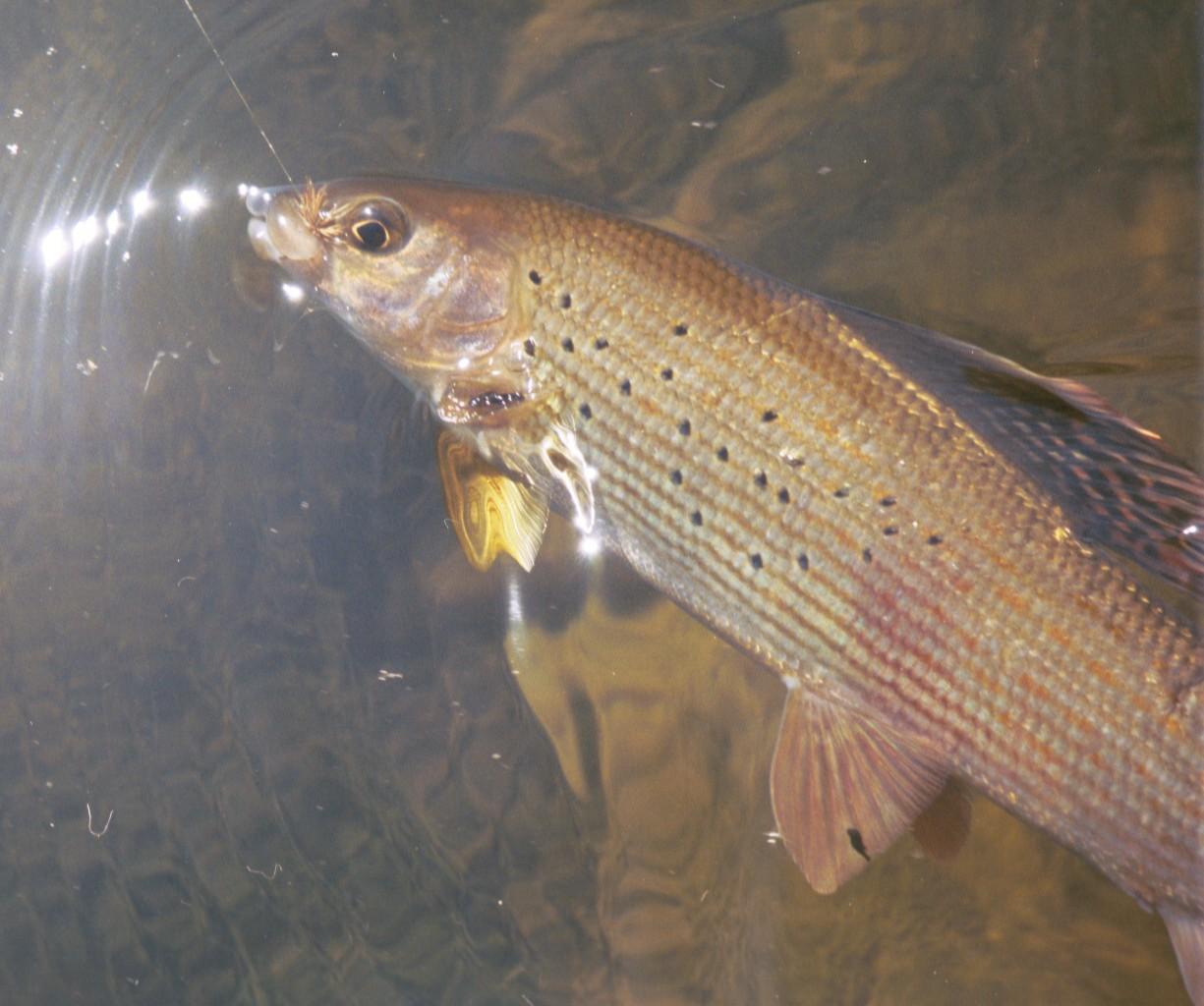 виды донской рыбы фото и названия